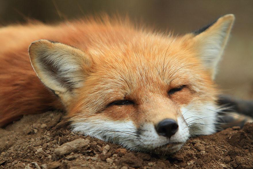 zao-fox-village-japan-3