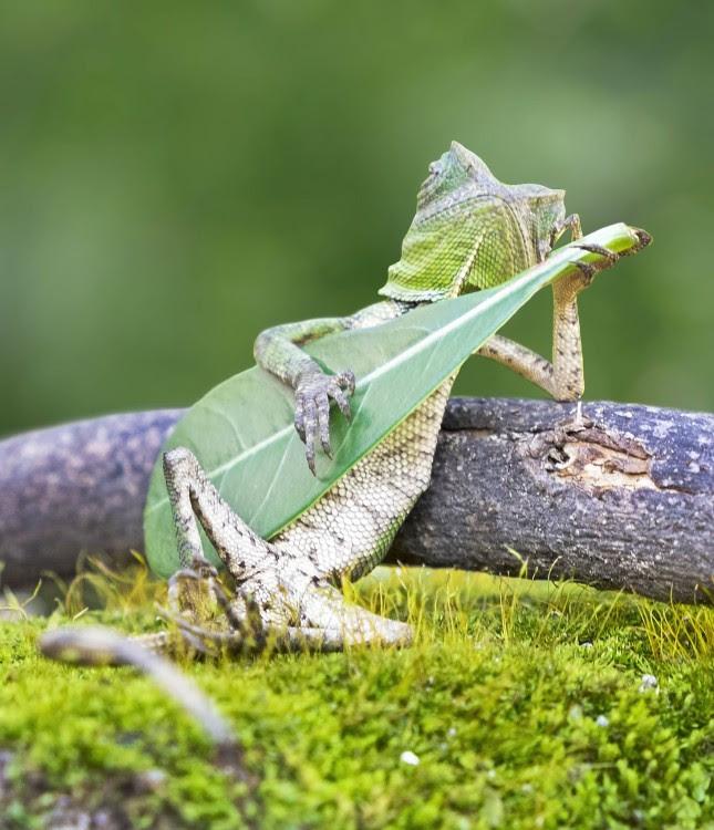 lagartiga tomando a una hoja como una guitarra