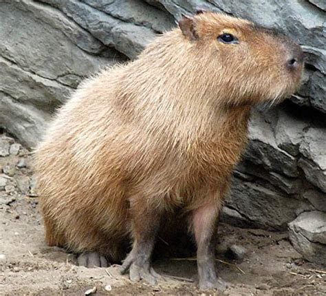 Capybara   The World's Largest Rodent   Animal Pictures and Facts   FactZoo.com