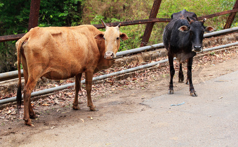 Two old and weak cows looking hungry, weak and unhealthy standin
