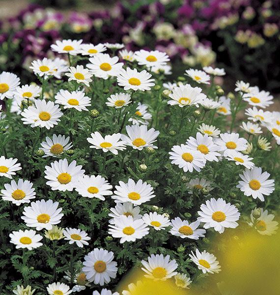 Chrysanthemum Snowland American Takii
