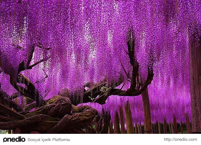 7. İnanılmaz güzelliğiyle 144 yaşındaki morsalkım ağacı Japonya'da bulunuyor.