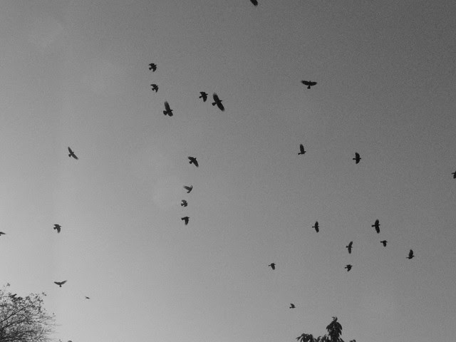 crows, waterfront park