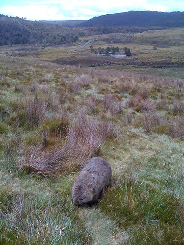 Close encounter with the wombat kind, cradle mountain, in the button grass #fb