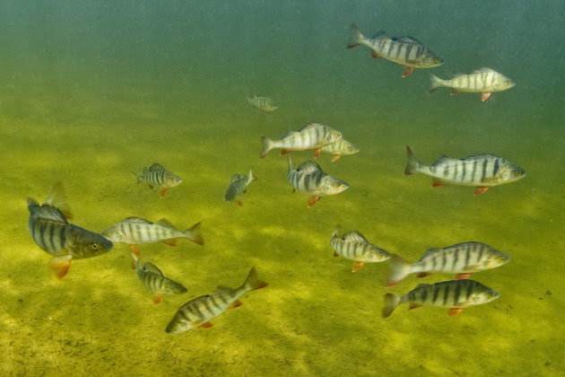 This circa 2009 photo provided by Bent Christensen show perch fish swimming together in Sweden. What happens to fish that swim in waters tainted by traces of drugs that people take? When it's an anti-anxiety drug, they become hyper, anti-social and aggressive, a study found. They even get the munchies. It may sound funny, but it could threaten the fish population and upset the delicate dynamics of the marine environment, scientists say. The findings, published online Thursday, Feb. 14, 2013 in the journal Science, add to the mounting evidence that minuscule amounts of medicines in rivers and streams can alter the biology and behavior of fish and other marine animals. (AP Photo/Bent Christensen)