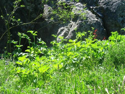 Heracleum lanatum (Blake Garden)
