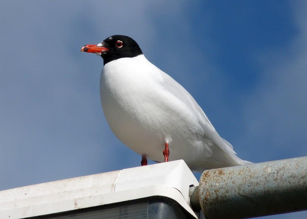 23927 - Mediterranean Gull, Bracelet Bay, Gower
