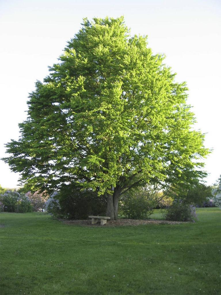 2513090224_752d6c0fbd_b_katsura tree