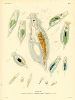 Hydatinaea, Notommata collaris, najas, aurita, gibba , ansata, decipiens, felis