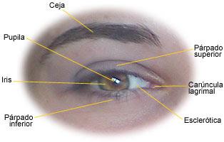 El ojo es uno de nuestros órganos más complejos; aquí se ven sus componentes externos. Tomada de salud.discoveryespanol.com