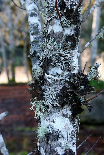 garberville_lichen-17