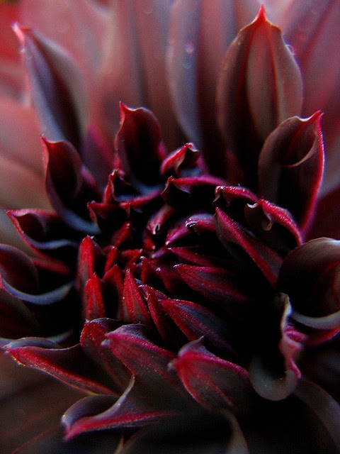 Black Spider chrysanthemum by Laura Bell