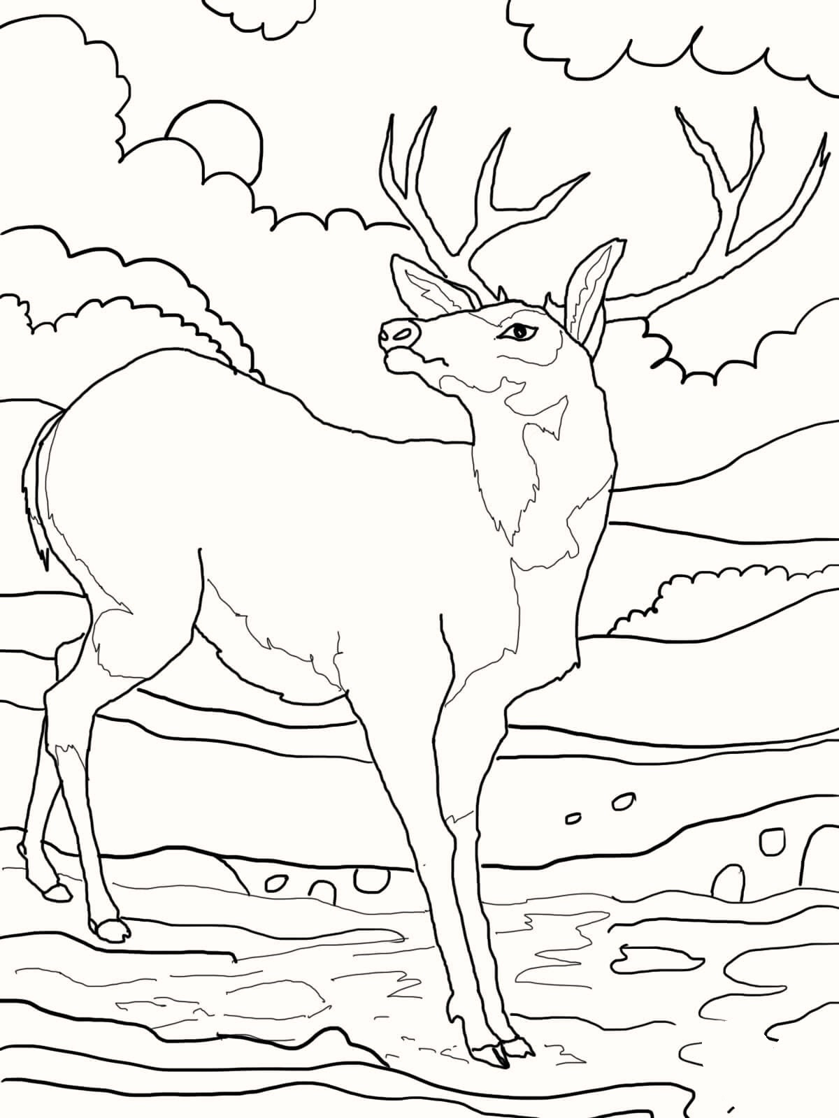 White Tail Deer Coloring Pages | Deer coloring pages, Coloring ... | 1600x1200