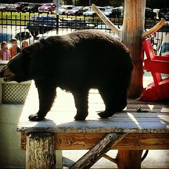 #clarkstradingpost #bear #blackbear #2yearsold #wildlife #cute #petstagram #whitemountains #newhampshire