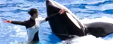 Tilikum returns to SeaWorld (ABC)