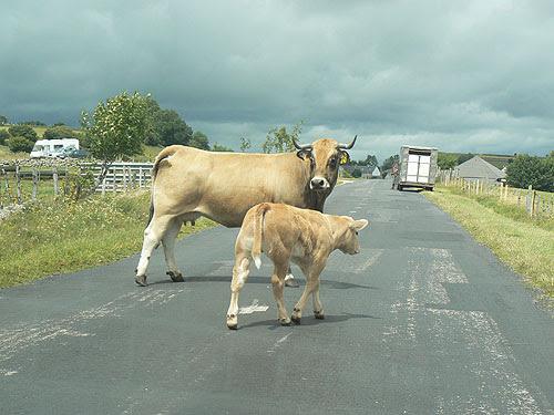 vache en fuite.jpg