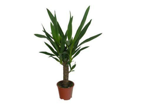 Yucca Plant Ebay
