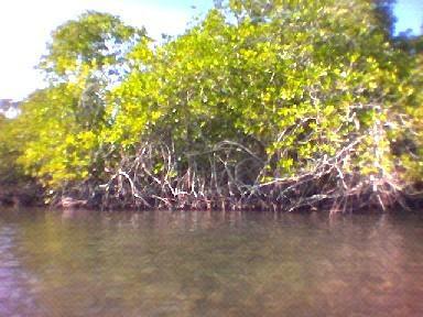 mangrove pelita jaya seram