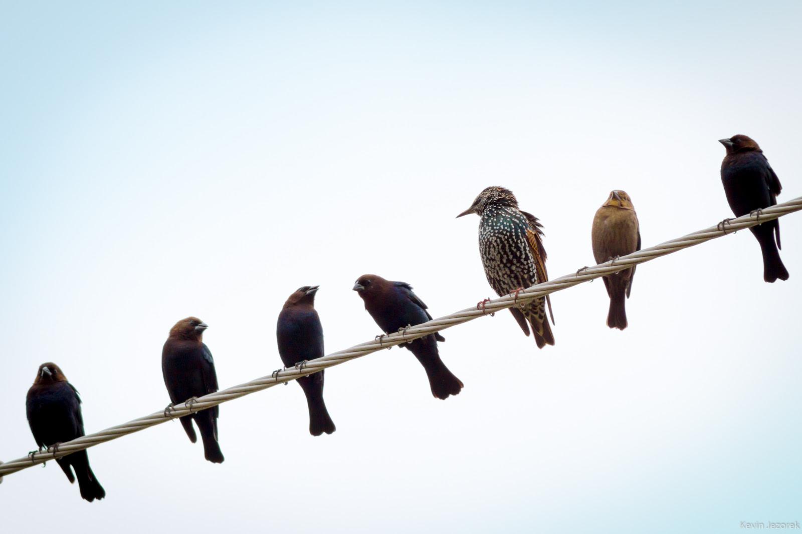 Birds On A Wire Kevin Jezorek Photography