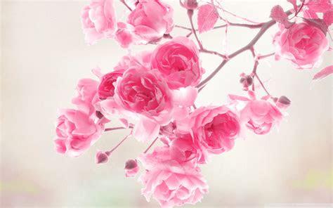 pink rose pictures   pixelstalknet
