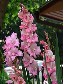 Gladiolus 7-19-06.JPG