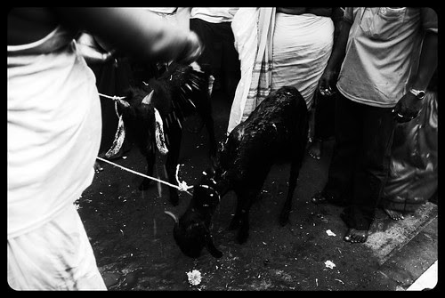 Animal Sacrifice For Goddess Marriammen by firoze shakir photographerno1