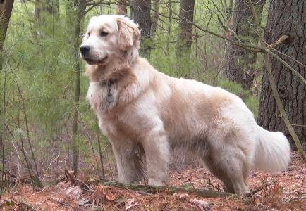 333120 As 10 raças de cães mais inteligentes 4 As 10 raças de cães mais inteligentes