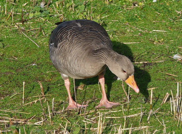 25468- Greylag Goose, Slimbridge