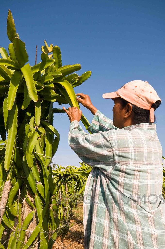 Dethorning the Dragonfruit Leaves