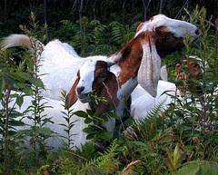 Boer x Nubian goats browsing