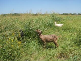Goats Still Grazing in the Wheat Field