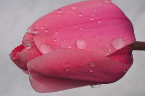 tears of a tulip