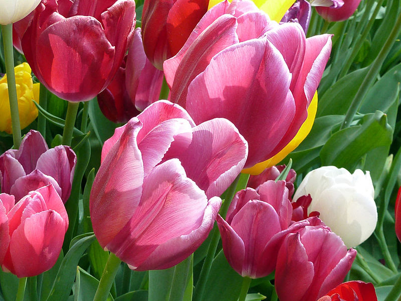 How Much Sunlight Do Tulips Need? - ProFlowers Blog