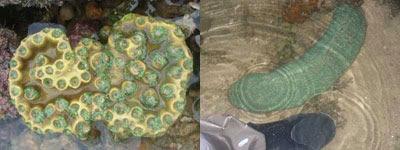 H.Coral-Turbinaria sp (Cyrene)& Ctenactis sp (Hantu)