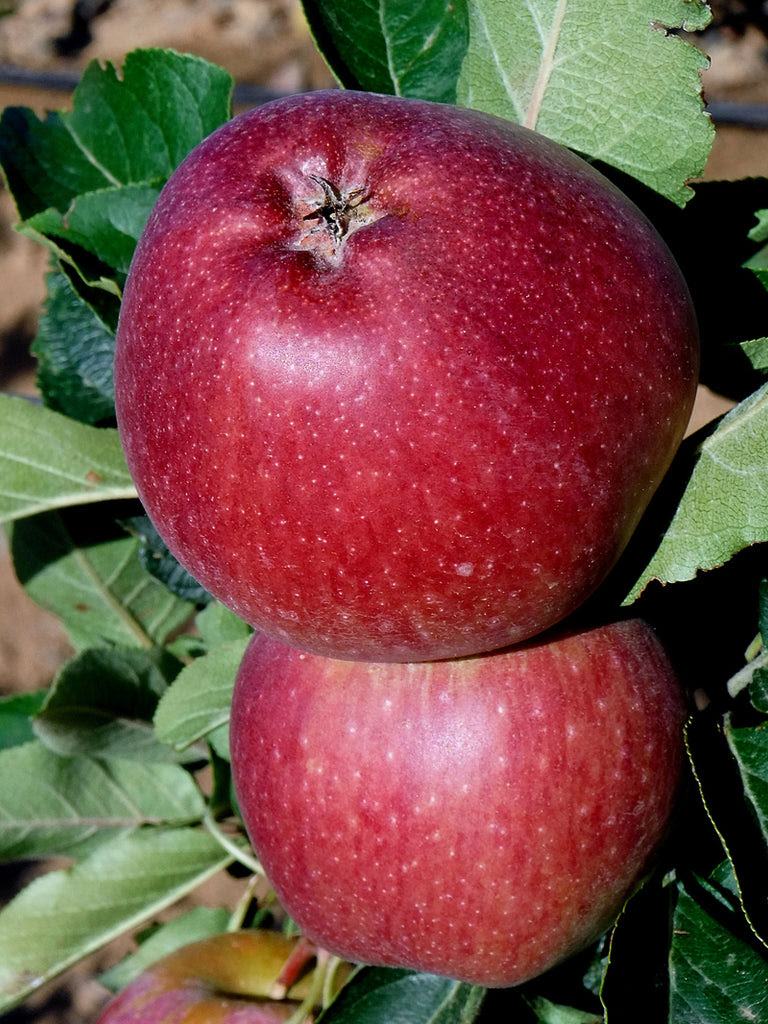 Plant Me Green Red Delicious Apples Apple Trees