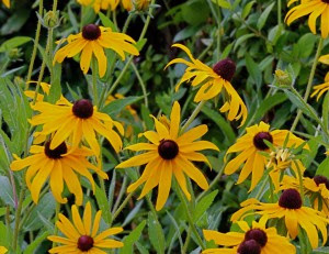 September Black Eyed Susan Rudbeckia Hirta Santa Fe Botanical