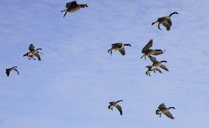 geese incoming