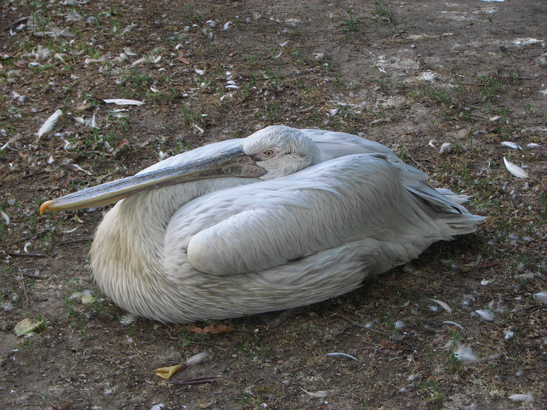 http://upload.wikimedia.org/wikipedia/commons/f/fe/Pelecanus-crispus-dalmatian-pelican-0a.jpg