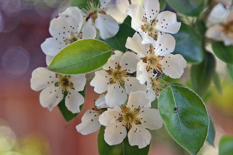 File:PearBlossomsCalifornia.jpg