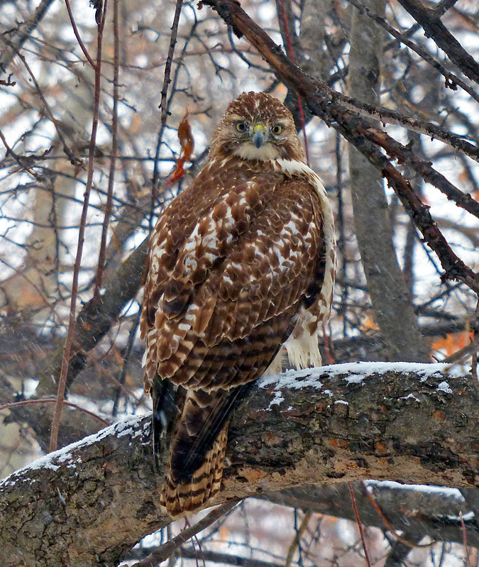 Red tail in the snow