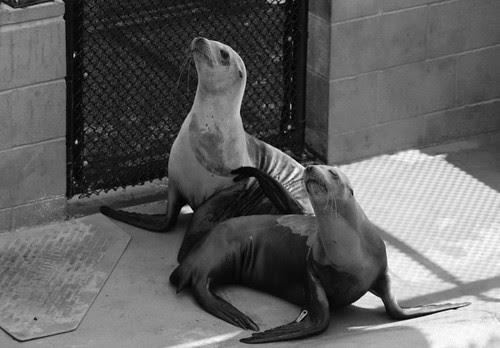 Sea lions at marine mammal center