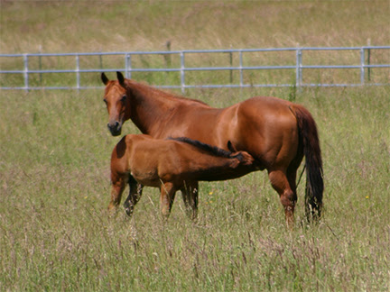nursing-foal.jpg