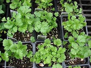 Coriandrum sativum (habit). Location: Maui, Ku...
