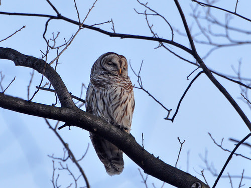 Great Hill Barred Owl