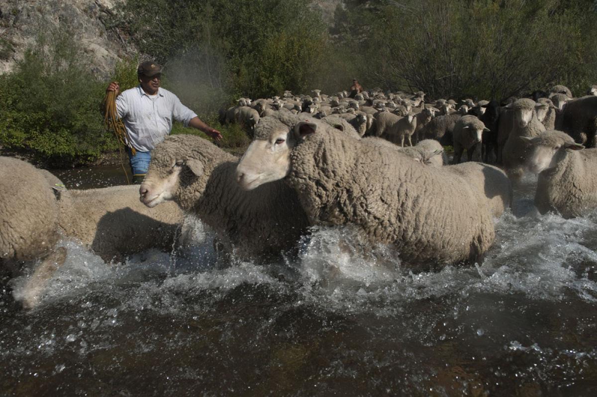 Conheça o Festival de Arrasto de Ovelhas 14