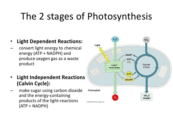 Sonia Yung Light Dependent Vs Light Independent Reactions