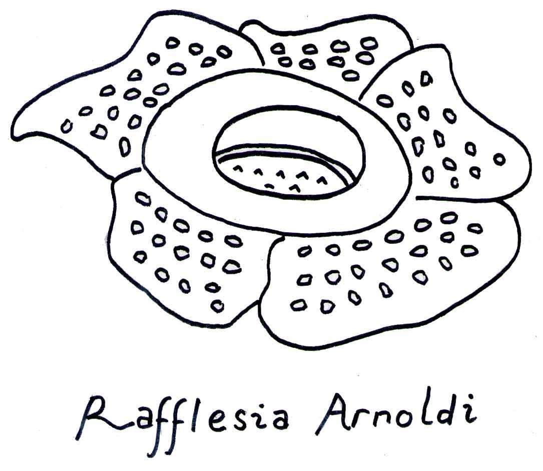 Bunga Raya Drawing Related Keywords & Suggestions Bunga