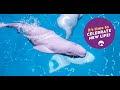 Graban el momento del nacimiento de una cría de beluga