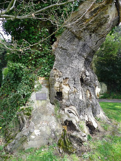 """Queen Elizabeth oak, Northiam, East Sussex, UK, you might think this 1,000 year old tree is just a tree but it's a very special tree! When Queen Elizabeth I journeyed to Rye on August 1573 she sat under this tree and ate a meal. She changed her shoes of green damask silk with a 2 5"""" heel and pointed toe and left them behind as a memento of her visit. They are still in existence and are shown on special occasions. They are kept at Brickwall a Jacobean House in the village"""
