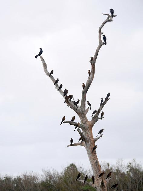 Ed Gaillard: birds &emdash; Tree full of Grackles, Green Cay